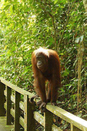 Orang-Oetan van Pieter  Debie