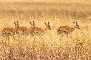 Impala im Chobe NP in Botswana von Paul de Roos