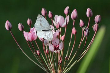 Witte vlinder op roze zwanebloem van Robert Wagter