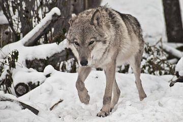 Der graue Wolf auf winterlich weißem Schnee ist ein Raubtier. Der Wolf schleicht sich an den Schnee  von Michael Semenov