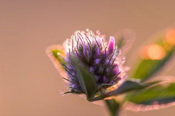Distelblüte im goldenen Licht von Tania Perneel