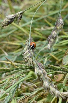 Lieveheersbeestje op een grashalm van Daphne van der straaten