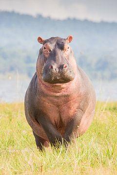 Natuur Afrika | Nijlpaard op eiland Rubundo - Afrika Tanzania van Servan Ott