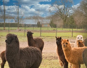Kudde van bruin en witte alpaca's van J..M de Jong-Jansen