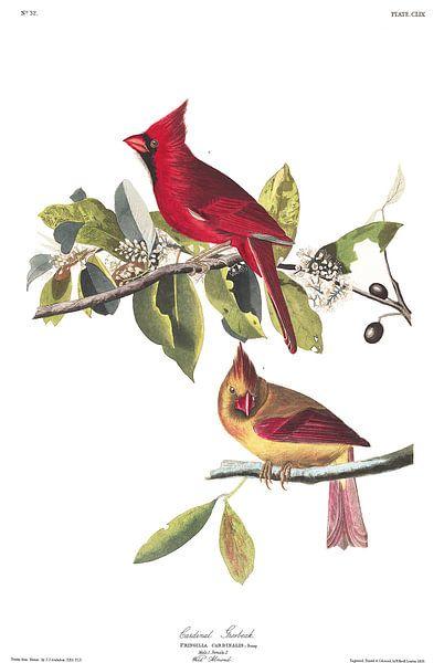 Rotkardinal von Birds of America
