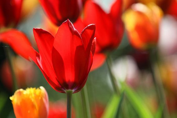 Tulpen in de Keukenhof (1) van Antwan Janssen