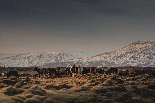 Islandic Horses I