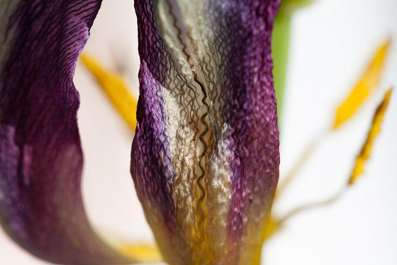 Close up zijdeglans en structuur van een tulp van Tot Kijk Fotografie: natuur aan de muur