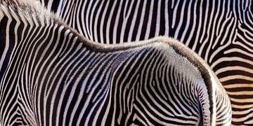 Twee zebra's van