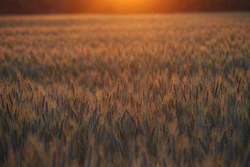 Graan bij ondergaande zon van Jan Nuboer