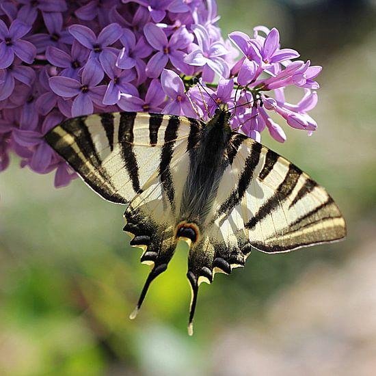 The Mariposa