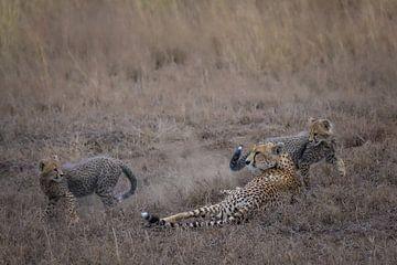 Zwei Gepardenbabys spielen um ihre Mutter von pixxelmixx