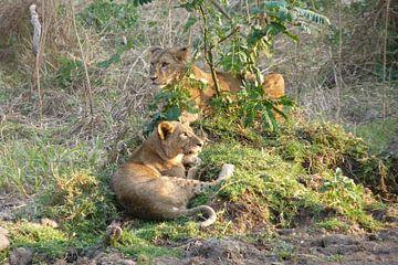 Leeuwen in Kenia van Daisy Janssens