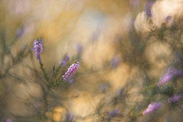 Blühendes Heidekraut von Loulou Beavers