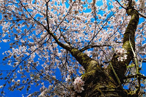 Kersenbloesemboom onder een blauwe hemel van
