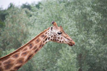 giraf von marijke servaes