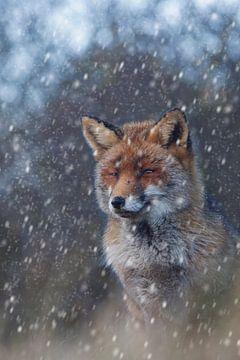 Vos in de sneeuw sur Daan de Vos