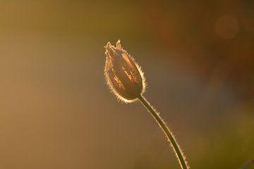 Weisser Blume im Abendlicht von Klaas Dozeman