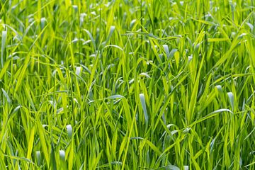 Zonnige grassprietjes van Achim Prill