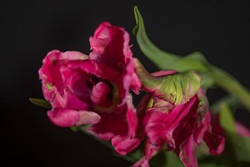 Tulpen von Govert Govers