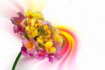 Lantana-Camara voor een abstracte kleurrijke achtergrond, macro-opname van Harry Adam