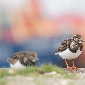 Steenloper op de kade van de haven in Lauwersoog van Ron Poot