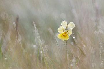 zinkviooltje in het gras van Francois Debets