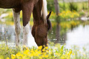 Drinkend paard van