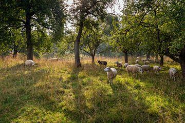 Schafe auf der Weide zwischen den Bäumen von Ruud Morijn