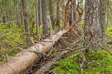 Dode omgevallen boom in een oerbos in Zweden van Chris Stenger