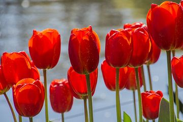 Tulpen von Tanja de Mooij