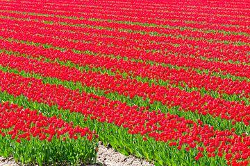 Rijen tulpen in een veld in de lente van Sjoerd van der Wal