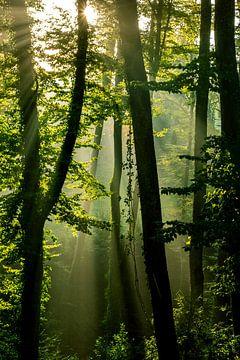 Morning sun in the forest van Stefan Heesch