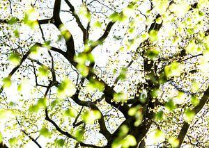 Springleaves