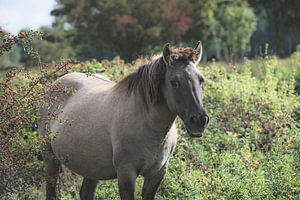 Konikpaard in het wild van Cristel Brouwer