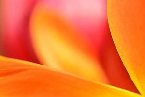 Vlammende kleuren in een tulp van