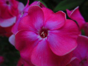 De roze bloem in de achtertuin van Wilbert Van Veldhuizen