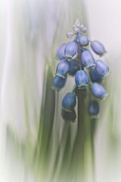 Grape Hyacinth VII (bloem, blauwe druifjes) van Bob Daalder