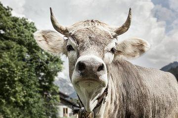 Hochnase-Kuh von kuh-bilder.de