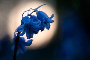 Blauwe, wilde hyacint