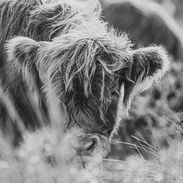 Schotse hooglander van Dirk van Egmond