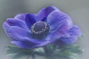 Anemone blau von Nicole van Ede
