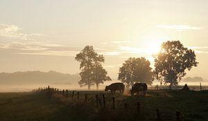 Koeien dampen bij opkomende zon in oktober