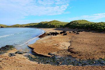 Schotland, koeien op het strand  van