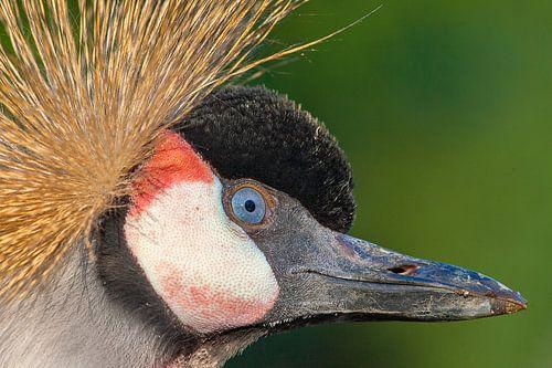 Portret grijze kroonkraanvogel van
