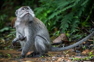 Makaak in de jungle - Sumatra, Indonesië