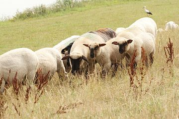 De drie schapen van de dijk van Anja Bagunk