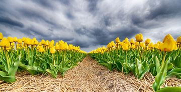 Gele Tulpen 2020 D van Alex Hiemstra
