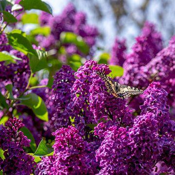 Koninginnenpage vlinder op paarse seringen van JM de Jong-Jansen