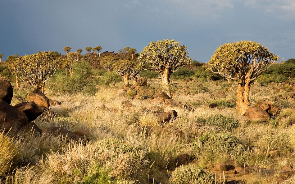 Woud van kokerbomen Namibië